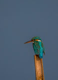 Little Cute Kingfisher. Royalty Free Stock Photography