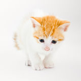 Little cute kitten. Sit loonely on the white background Stock Photography