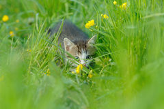 A little cute kitten in the green grass Royalty Free Stock Photo