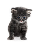Little cute kitten isolated Royalty Free Stock Photography