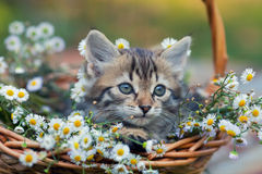 A little cute kitten looks out of a basket with chamomile flowers Royalty Free Stock Image
