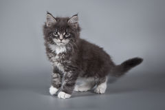 A little cute kitten 2 months old on a studio gray background. Nice creature. Stock Photography