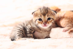 Little cute kitten Royalty Free Stock Image
