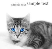 LIttle cute kitten. Space for your text Royalty Free Stock Photo