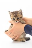 Little cute kitten striped in the hands of a man on a white background.  Royalty Free Stock Photos