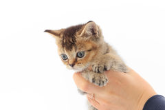 Little cute kitten striped in the hands of a man on a white background.  Stock Photos