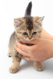 Little cute kitten striped in the hands of a man on a white background.  Royalty Free Stock Photography