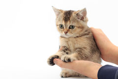 Little cute kitten striped in the hands of a man on a white background.  Stock Images