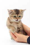 Little cute kitten striped in the hands of a man on a white background.  Royalty Free Stock Photo