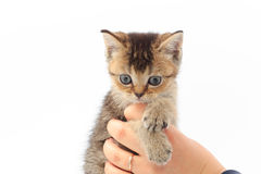 Little cute kitten striped in the hands of a man on a white background.  Royalty Free Stock Image
