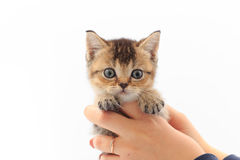 Little cute kitten striped in the hands of a man on a white background.  Stock Image