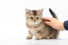 Little cute kitten striped in the hands of a man on a white background.  Stock Photography