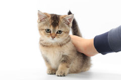 Little cute kitten striped in the hands of a man on a white background.  Royalty Free Stock Images