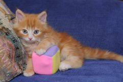 Little cute kitten with a toy Stock Images