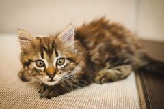 A little cute kitty looks right, poses for the photo stock photography