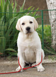 Little cute labrador puppy n the garden Royalty Free Stock Images