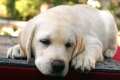 A little cute labrador puppy on a red background Royalty Free Stock Photo