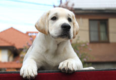 Little cute labrador puppy on a red background Royalty Free Stock Photos