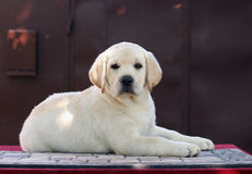 The little cute labrador puppy on a red background Stock Image