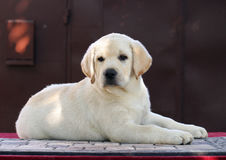 A little cute labrador puppy on a red background Royalty Free Stock Images