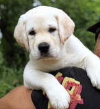 The little cute labrador puppy on a shoulder Royalty Free Stock Photography