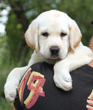 Little cute labrador puppy on a shoulder Royalty Free Stock Images