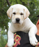 A little cute labrador puppy on a shoulder Royalty Free Stock Photography