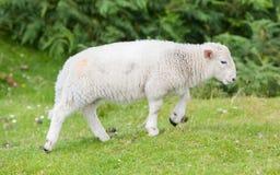 Little cute lamb walking Stock Photo