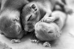Little cute mice babies sleeping huddled together. Macro image. Black and white image stock photos