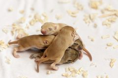 Little cute mice babies sleeping huddled together. Macro image. Small animals stock photo