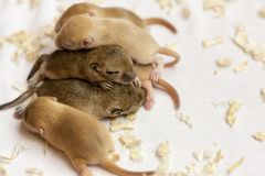 Little cute mice babies sleeping huddled together. Macro image. Animals wildlife royalty free stock photo