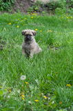 Little cute mongrel puppy in summer Stock Image