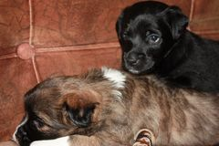 Little cute mongrel, two puppies black and brown stock images