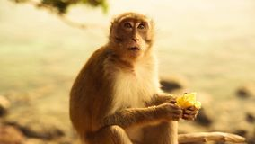 Little cute monkey eating banana
