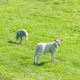 Little cute new born lambs on a green spring field. stock photos