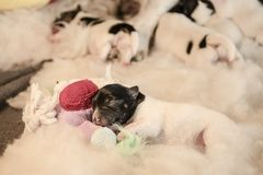 Newborn puppy dogs  with toy - three days old jack Russell Terrier doggy is lying on a white background stock photo