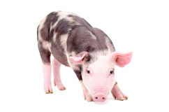 Little cute pig. Standing isolated on white background royalty free stock images