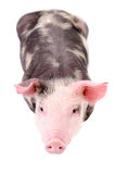 Little cute piggy, top view Royalty Free Stock Image