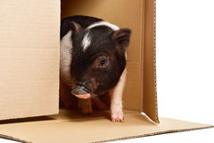 Little cute piglet, peeking of the box. On white background royalty free stock image