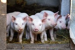 Little cute pigs on the farm.