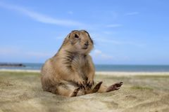 Little cute prairie dog sitting on sand. Little prairie dog sitting and relaxing on sand with bright blue sky and sea Royalty Free Stock Photography