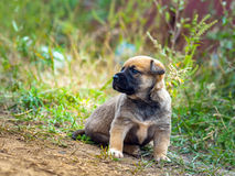 Little cute puppy. Little cute puppy looking forward. Green grass background Royalty Free Stock Photos
