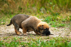 Little cute puppy. Alone puppy sniffs the ground Stock Photo