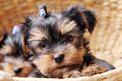 Little Cute Puppy At Home Royalty Free Stock Photos