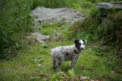 Little and cute puppy of australian shepherd dog royalty free stock photography