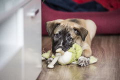 Little cute puppy biting a toy. Little cute puppy lies on the floor at home and biting a toy Stock Image