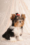 Little cute puppy of biver yorkshire terrier Stock Photography