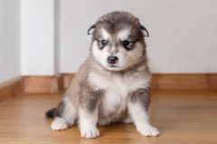 Little cute puppy of breed the Alaskan Malamute sitting on the floor.  Royalty Free Stock Photos