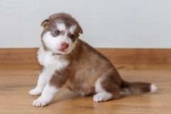Little cute puppy of breed the Alaskan Malamute sitting on the floor.  Royalty Free Stock Photo