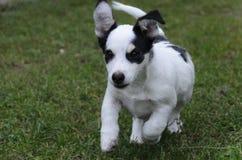 Puppy run. Little cute puppy funny run Stock Photos